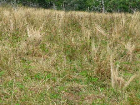 Area on Roan Mountain after goats have grazed