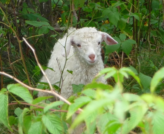 One of the baby goats living through the summers on the Roan Mountain Balds