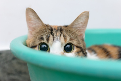 Shy/Embarrased Kitty, photo by TungCheung, from Shutterstock